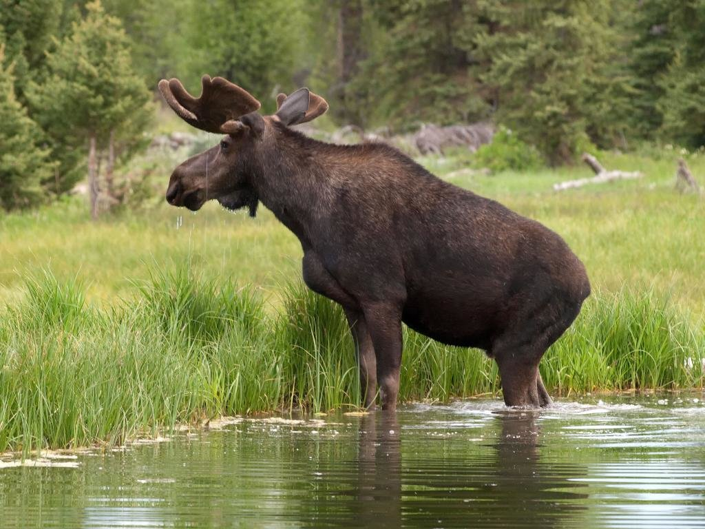 High resolution Moose hd 1024x768 background ID:346756 for PC