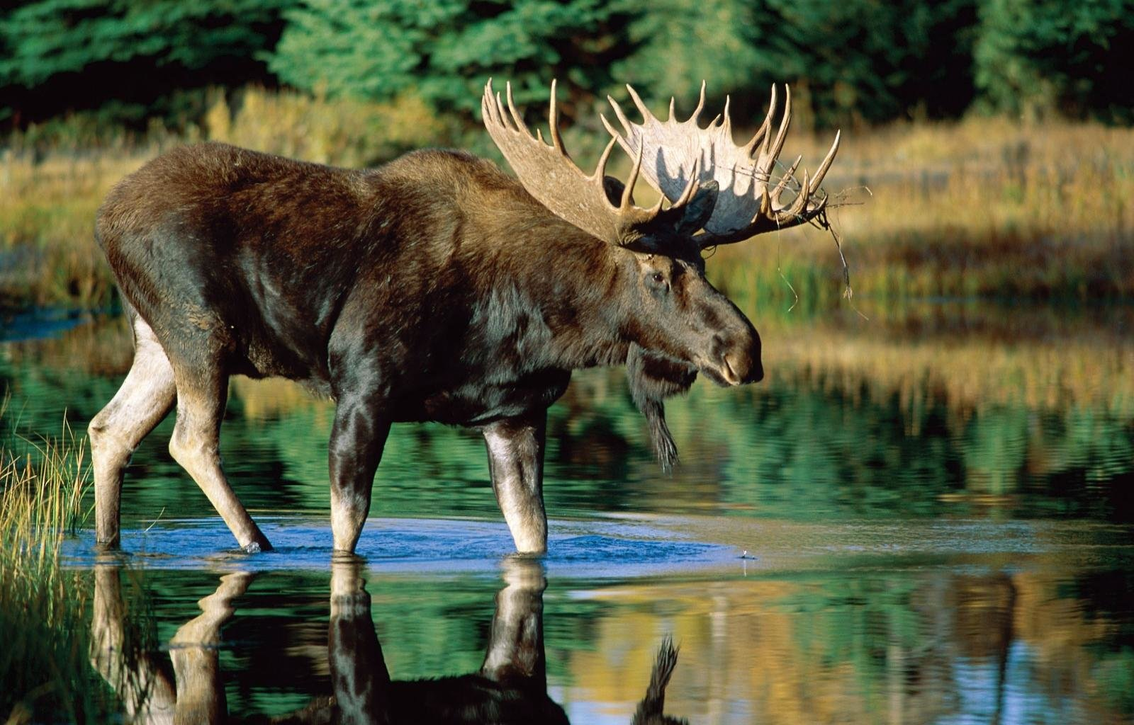 Free Moose high quality background ID:346722 for hd 1600x1024 computer