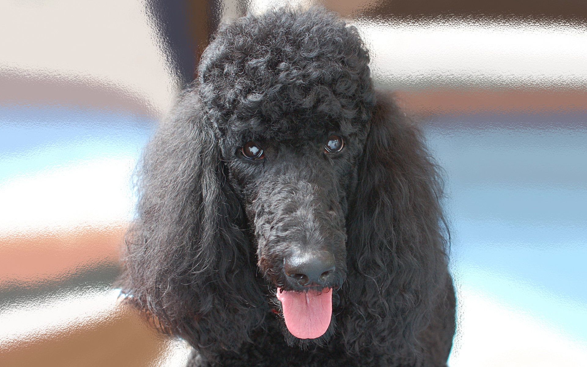Free download Poodle wallpaper ID:145054 hd 1920x1200 for PC