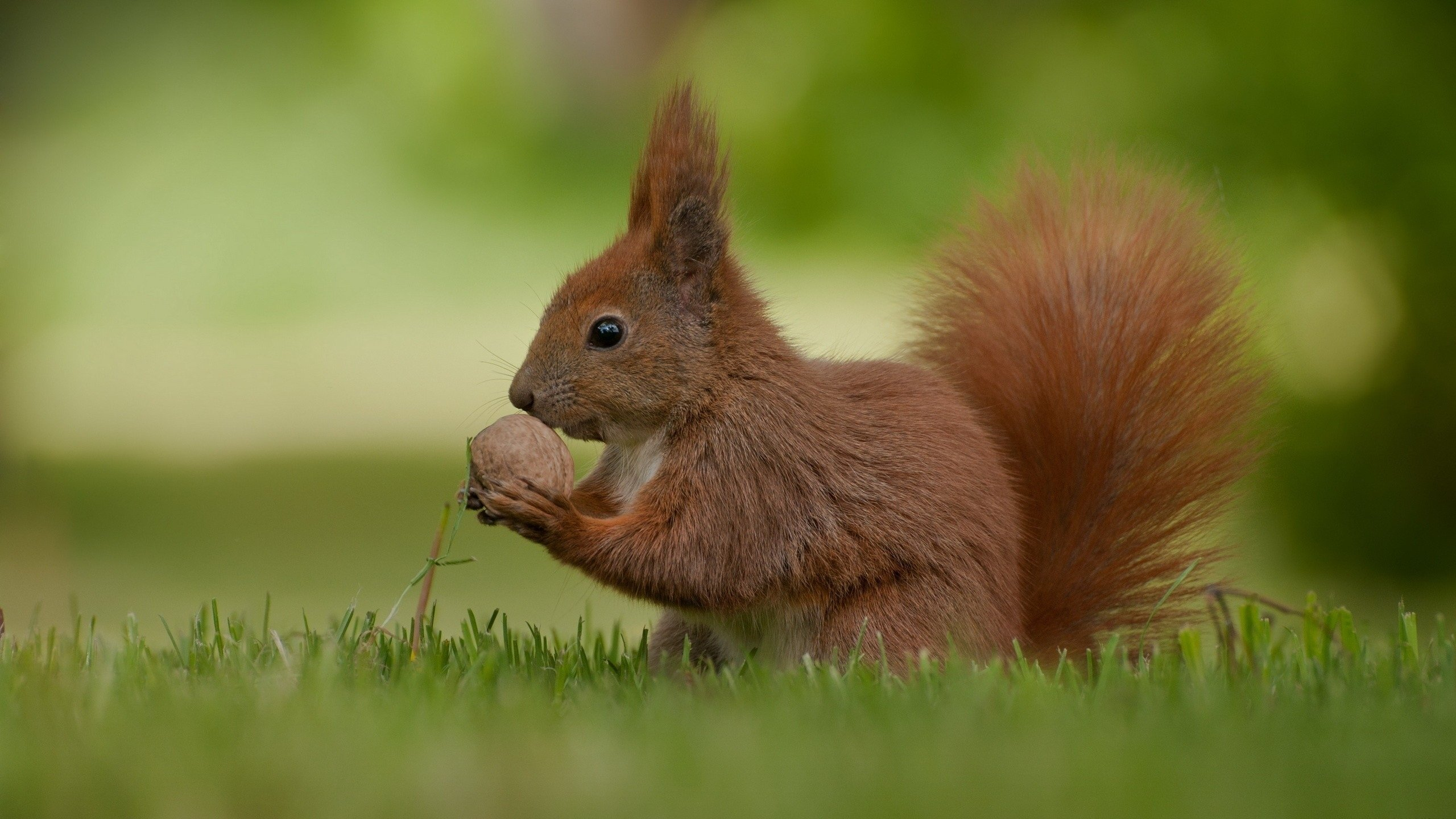 Free download Squirrel background ID:311709 hd 2560x1440 for PC