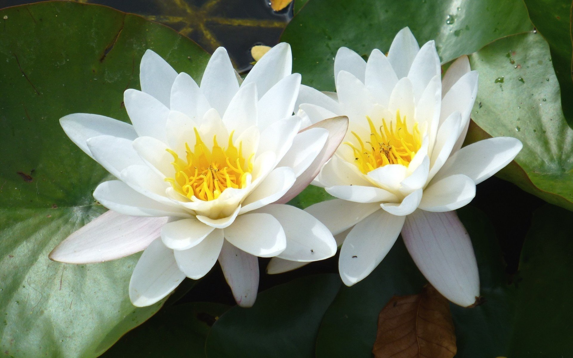 Free Water Lily high quality wallpaper ID:366185 for hd 1920x1200 computer