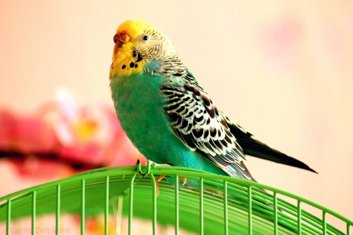 High resolution Budgerigar hd 1152x768 wallpaper ID:32560 for computer