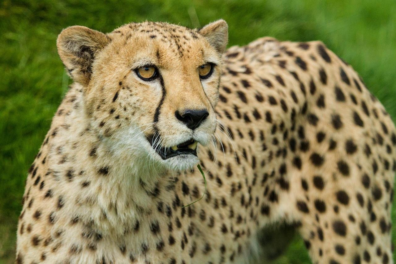 Awesome Cheetah free wallpaper ID:161690 for hd 1280x854 PC