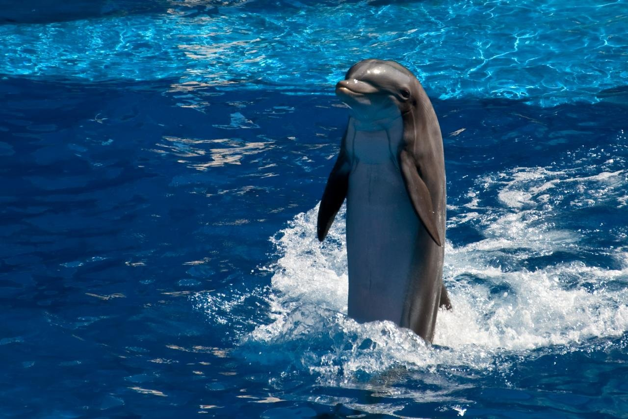 Free download Dolphin wallpaper ID:248281 hd 1280x854 for PC