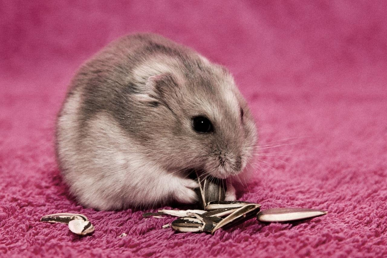 Best Hamster background ID:234040 for High Resolution hd 1280x854 PC