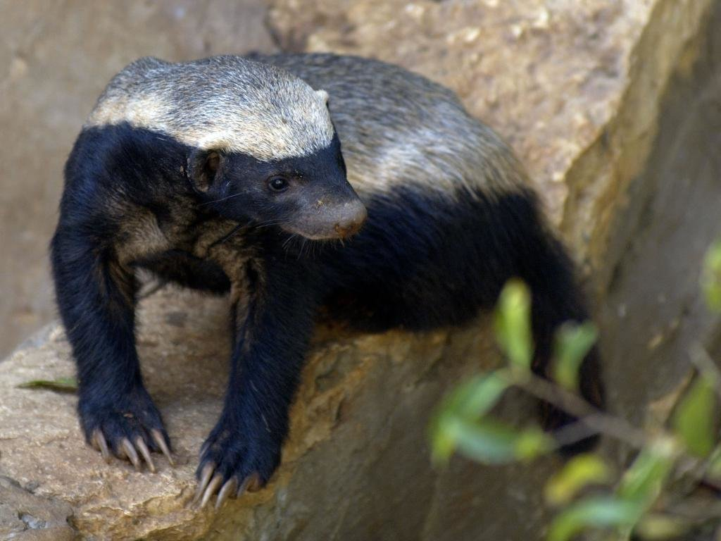 Free Honey Badger high quality background ID:85267 for hd 1024x768 PC