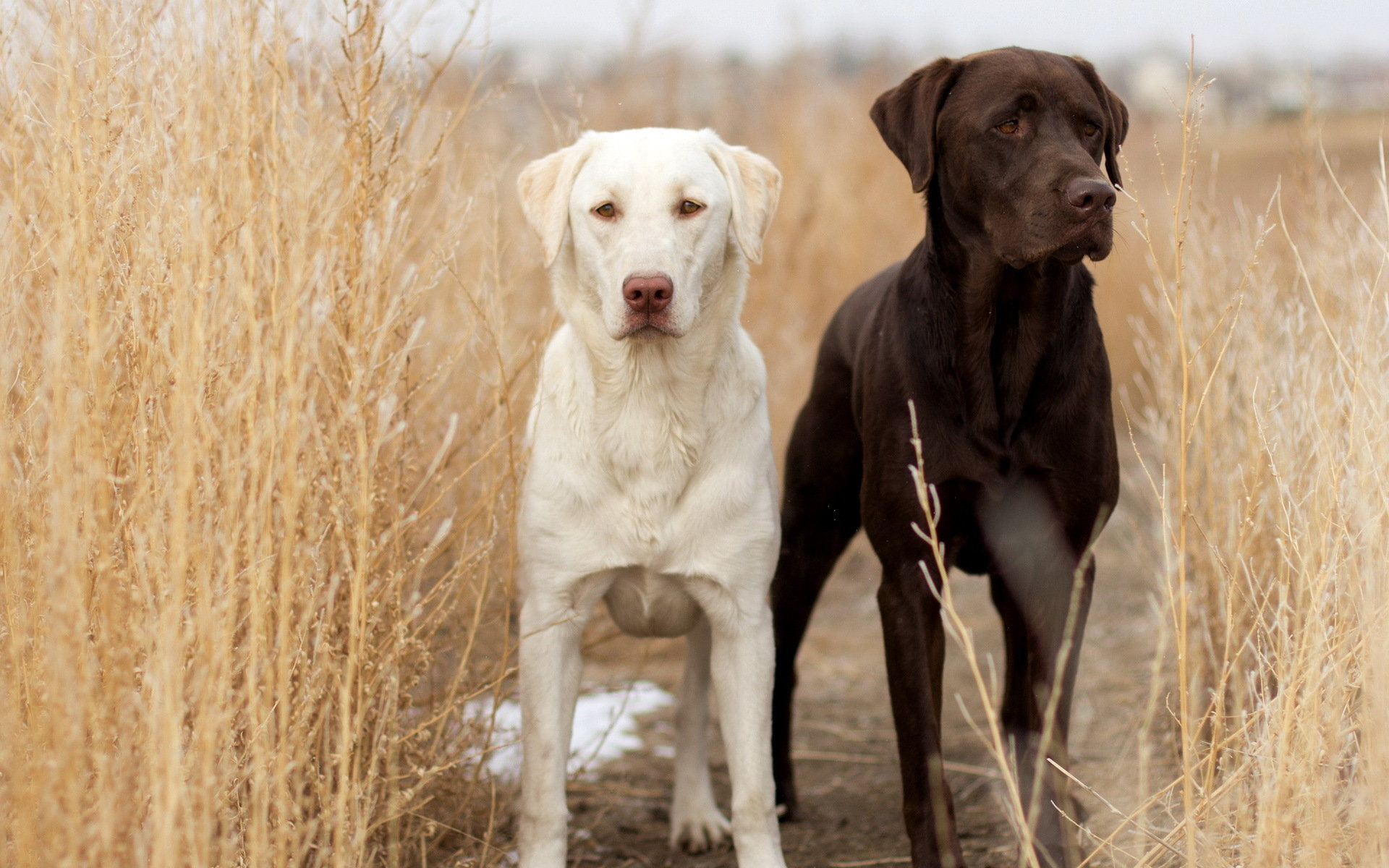 Free download Labrador Retriever wallpaper ID:47284 hd 1920x1200 for PC