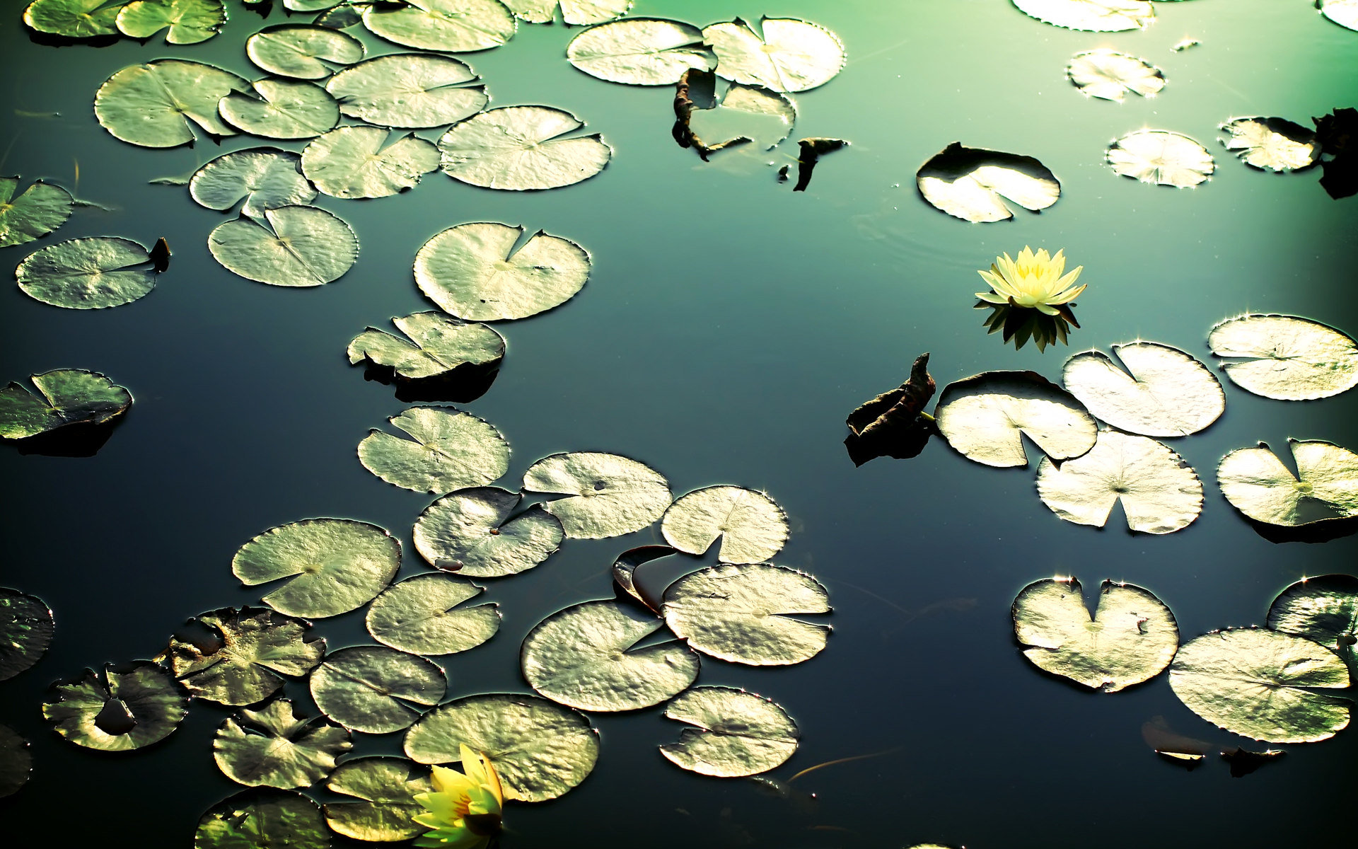 Free download Water Lily background ID:366210 hd 1920x1200 for desktop