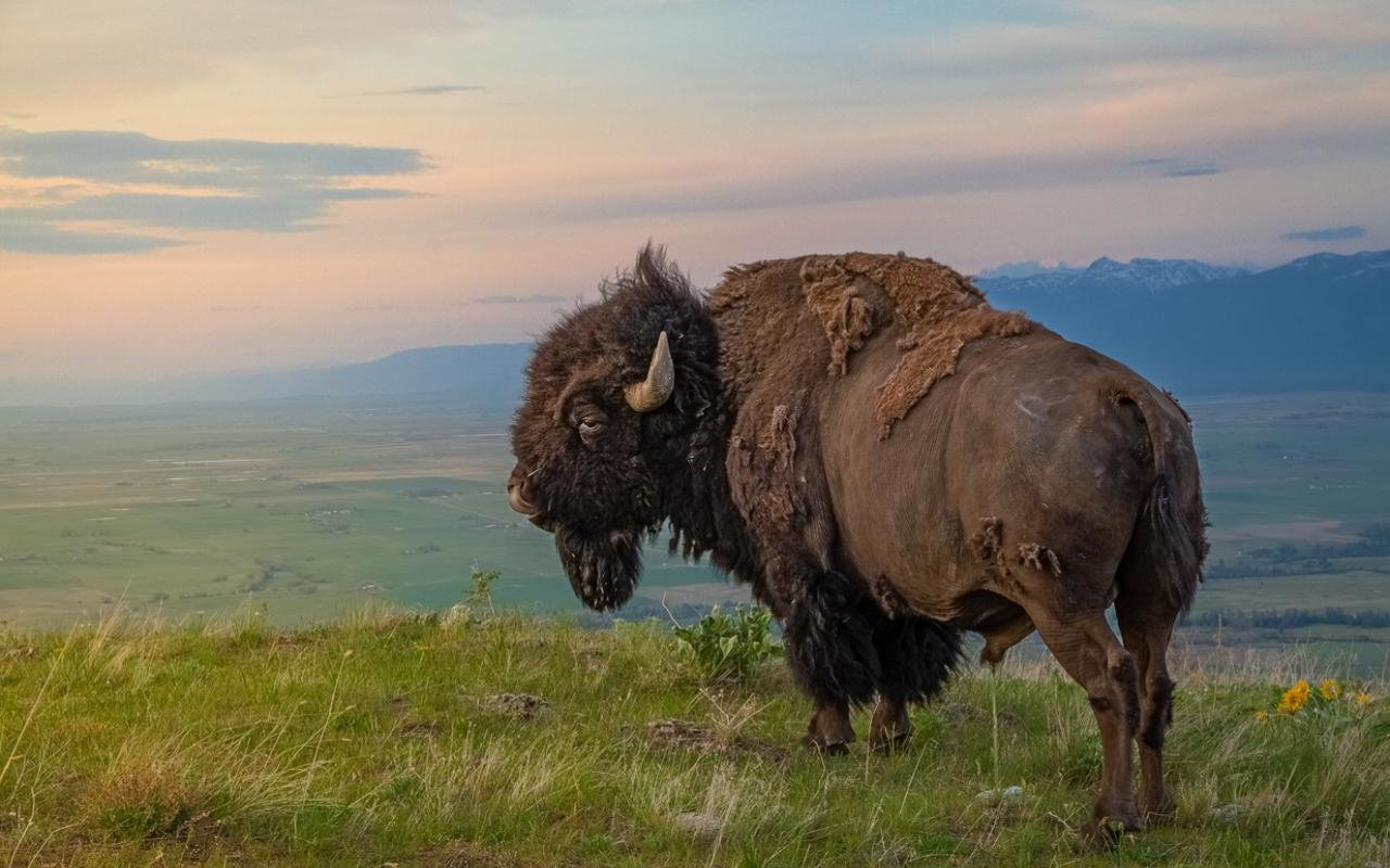 Best Bison wallpaper ID:130639 for High Resolution hd 1280x800 desktop