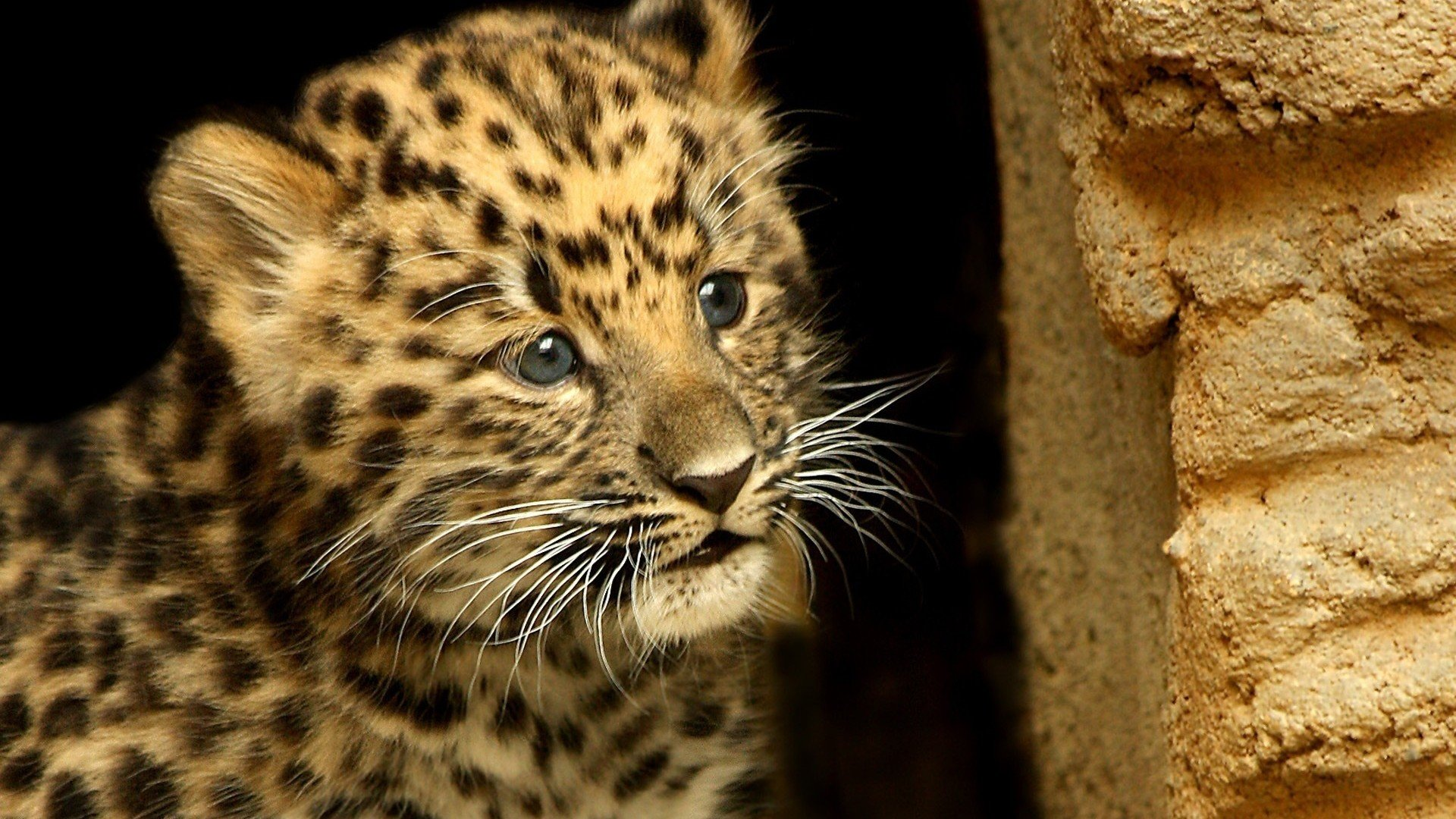 Free Leopard high quality wallpaper ID:448419 for hd 1920x1080 PC