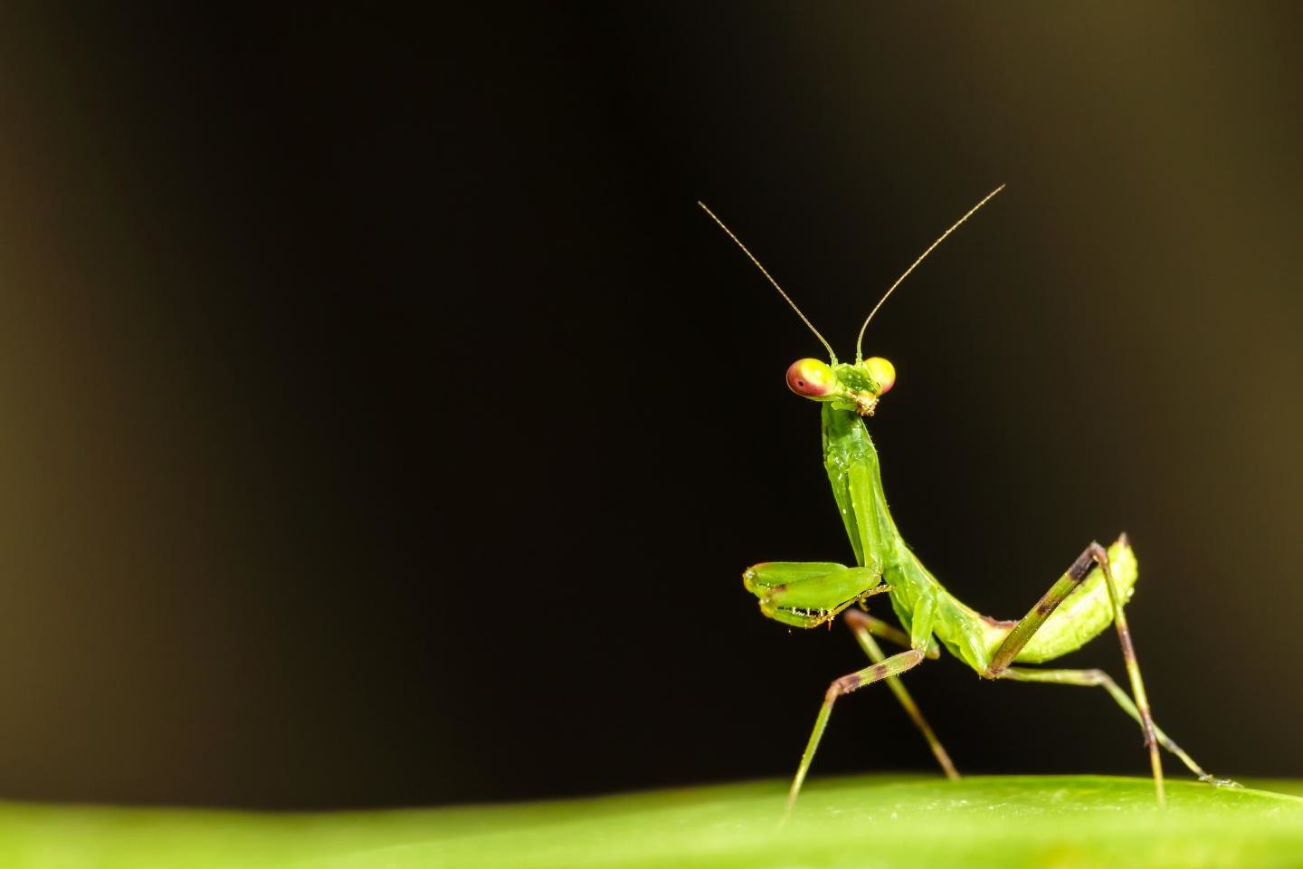 Free Praying Mantis high quality background ID:156411 for hd 1440x960 desktop