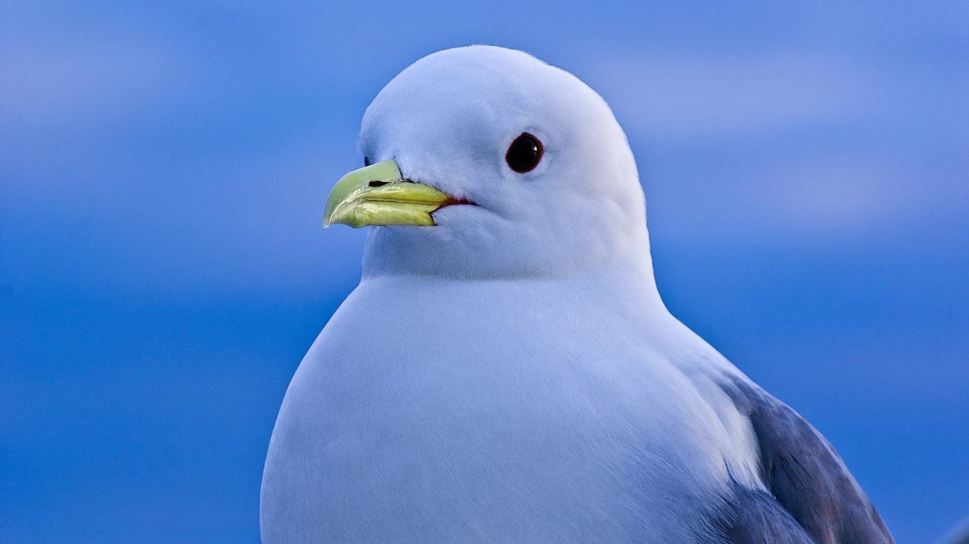 Download 1366x768 laptop Seagull computer wallpaper ID:66885 for free