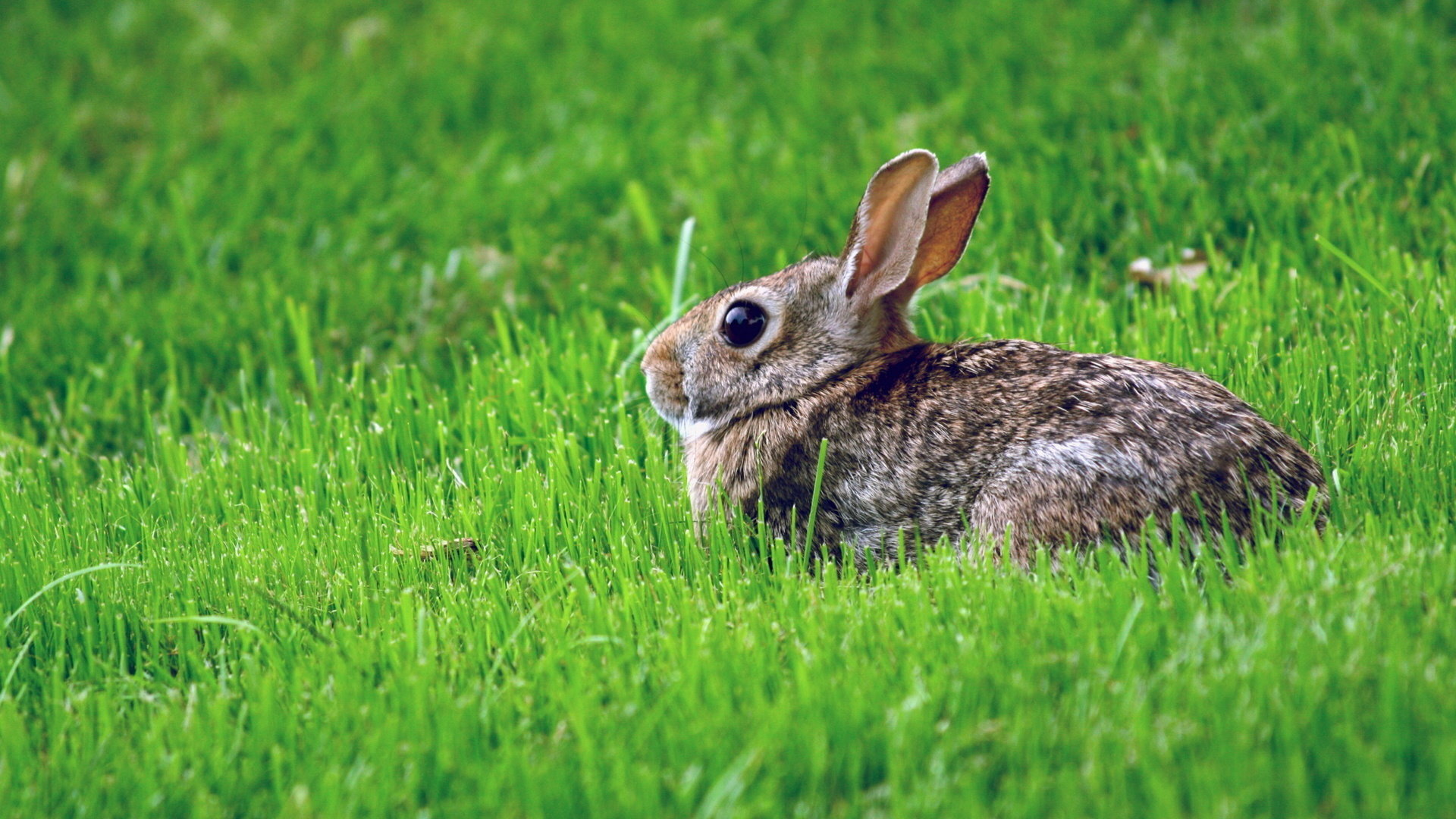 High resolution Hare full hd 1920x1080 wallpaper ID:81083 for PC