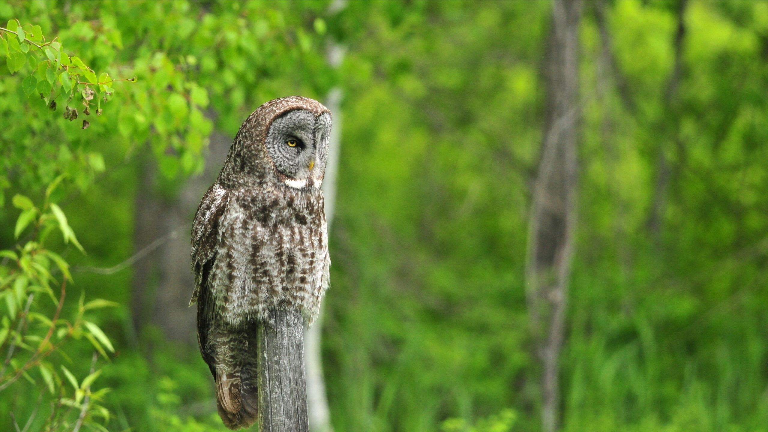 High resolution Owl hd 2560x1440 wallpaper ID:237033 for PC