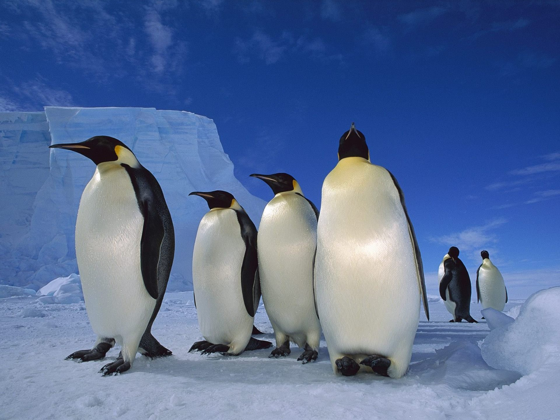 Awesome Emperor Penguin free background ID:47911 for hd 1920x1440 computer