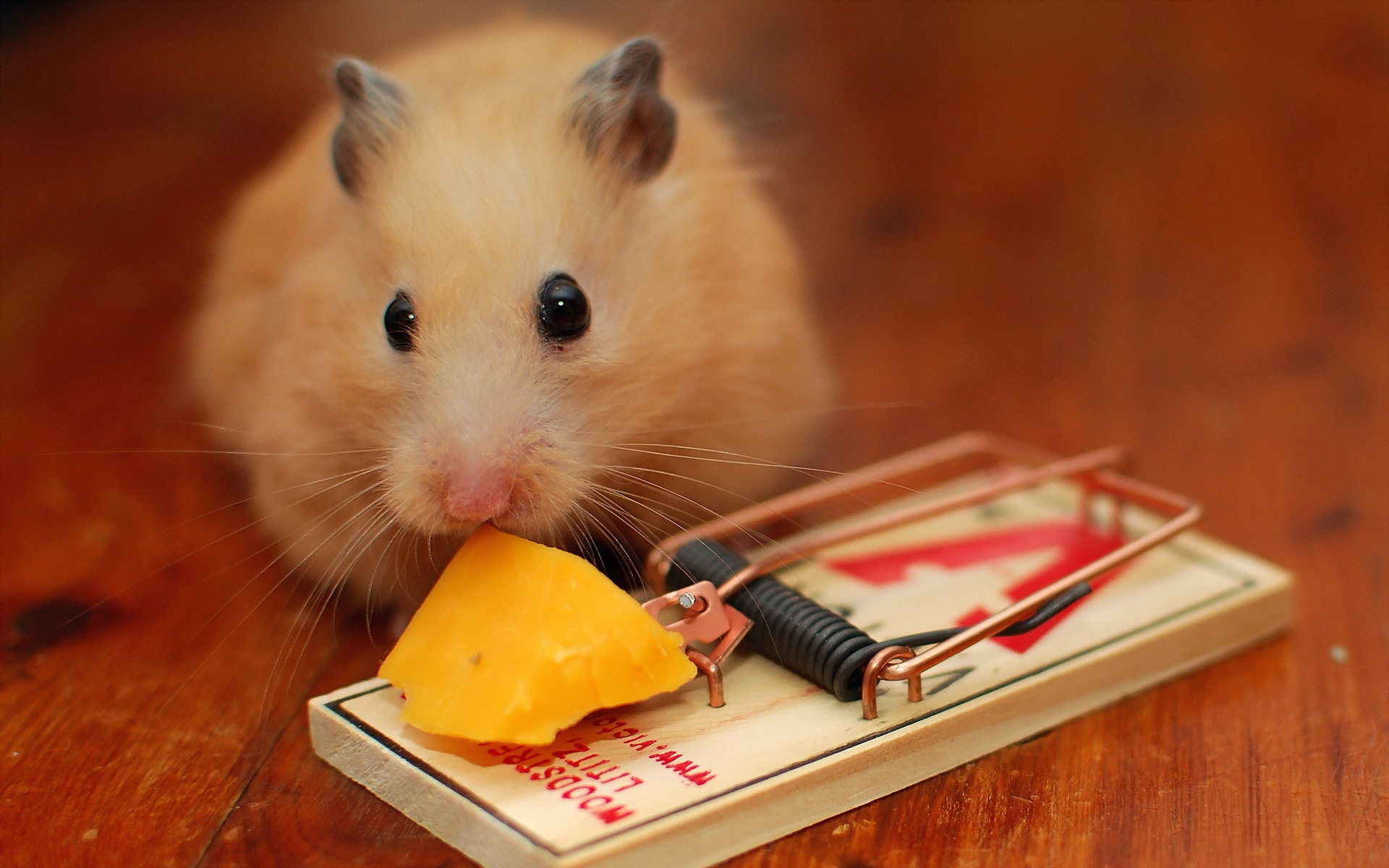 High resolution Hamster hd 1920x1200 wallpaper ID:234046 for desktop