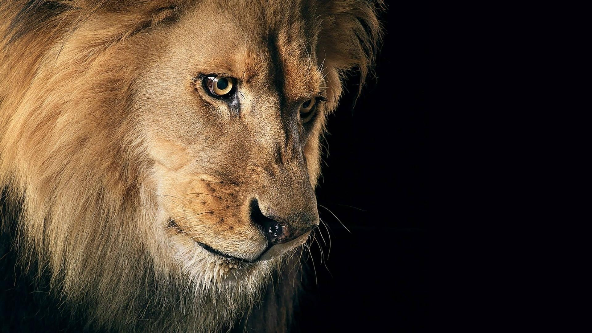 Free Lion high quality wallpaper ID:255406 for 1080p PC