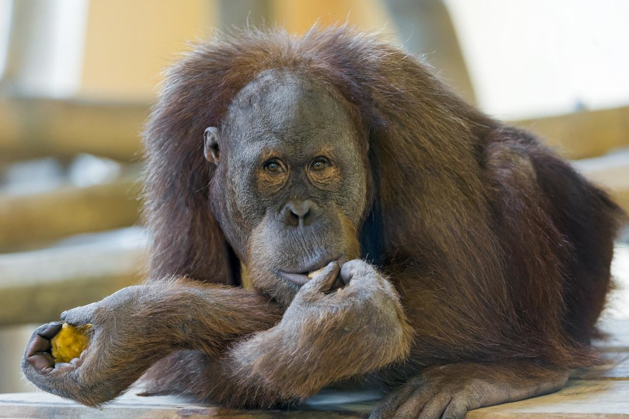 Best Orangutan wallpaper ID:70017 for High Resolution hd 1280x854 desktop