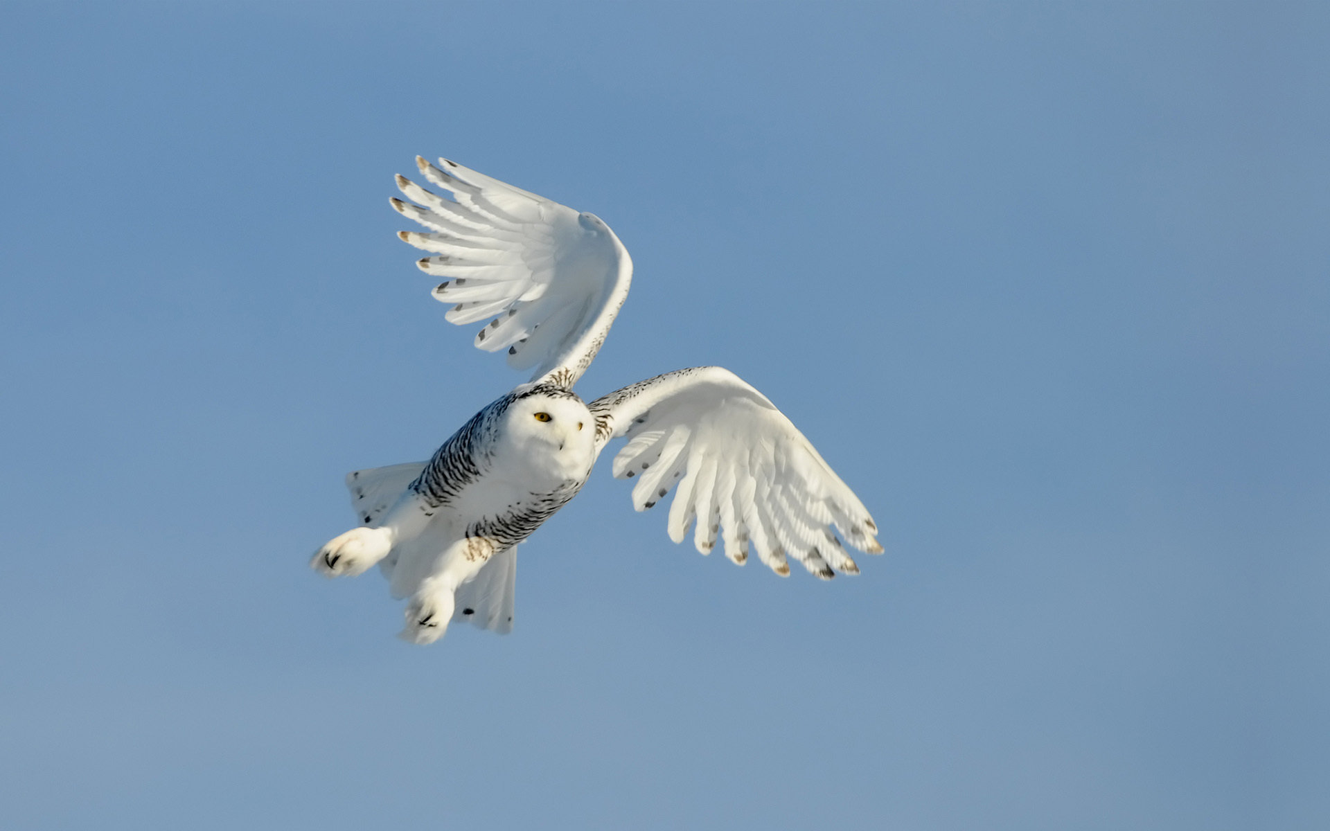 Best Snowy Owl background ID:26768 for High Resolution hd 1920x1200 PC