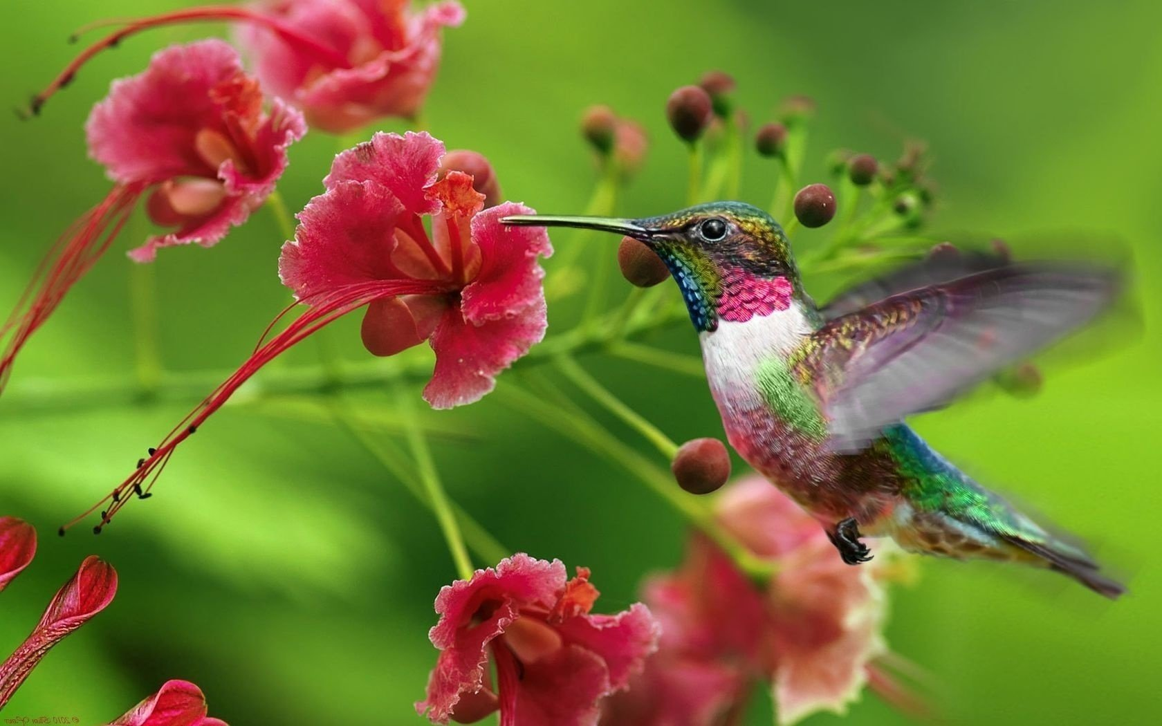 Free Hummingbird high quality background ID:215638 for hd 1680x1050 PC