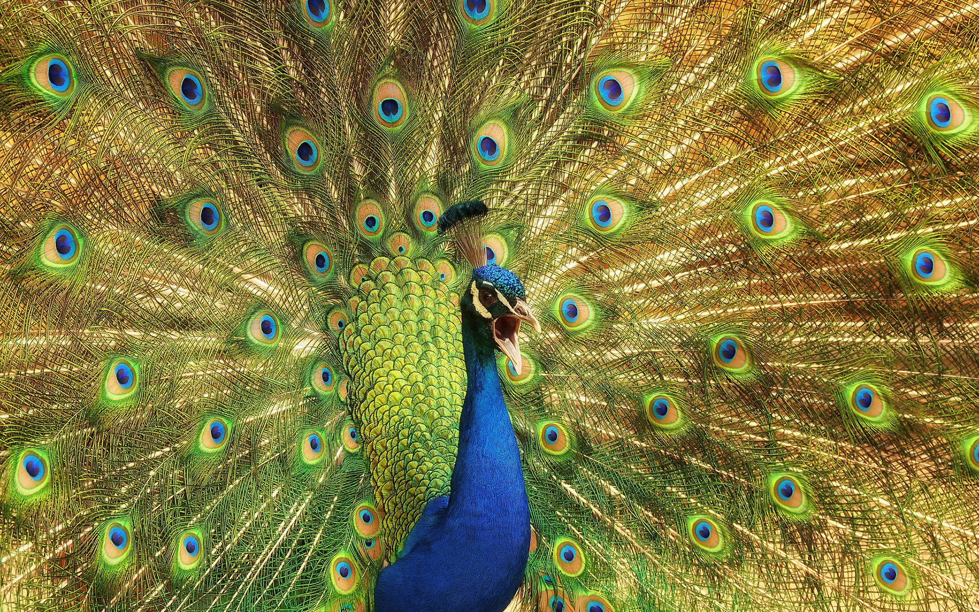 Download hd 1920x1200 Peacock desktop wallpaper ID:151760 for free