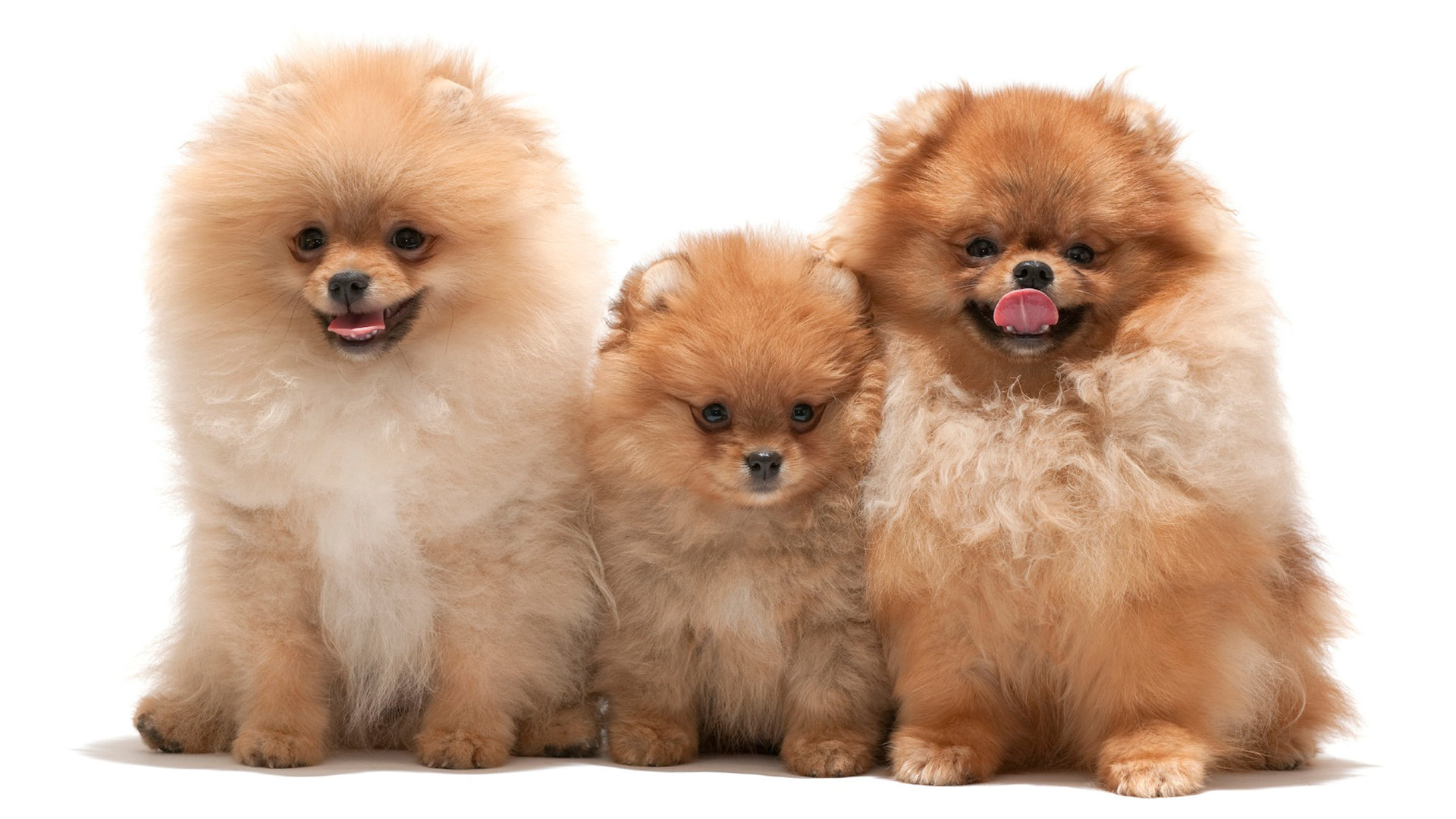 Awesome Pomeranian free wallpaper ID:184949 for full hd 1080p computer