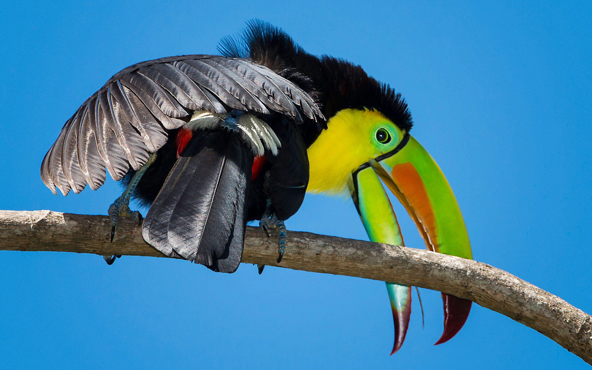 High resolution Toucan hd 1920x1200 wallpaper ID:57261 for PC