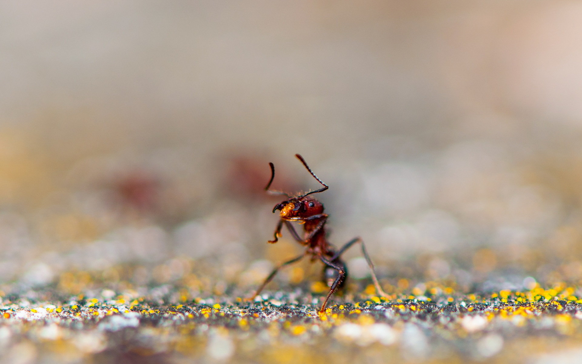 High resolution Ant hd 1920x1200 background ID:401339 for desktop
