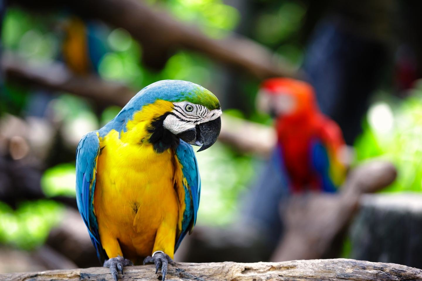 Best Macaw wallpaper ID:46418 for High Resolution hd 1440x960 computer