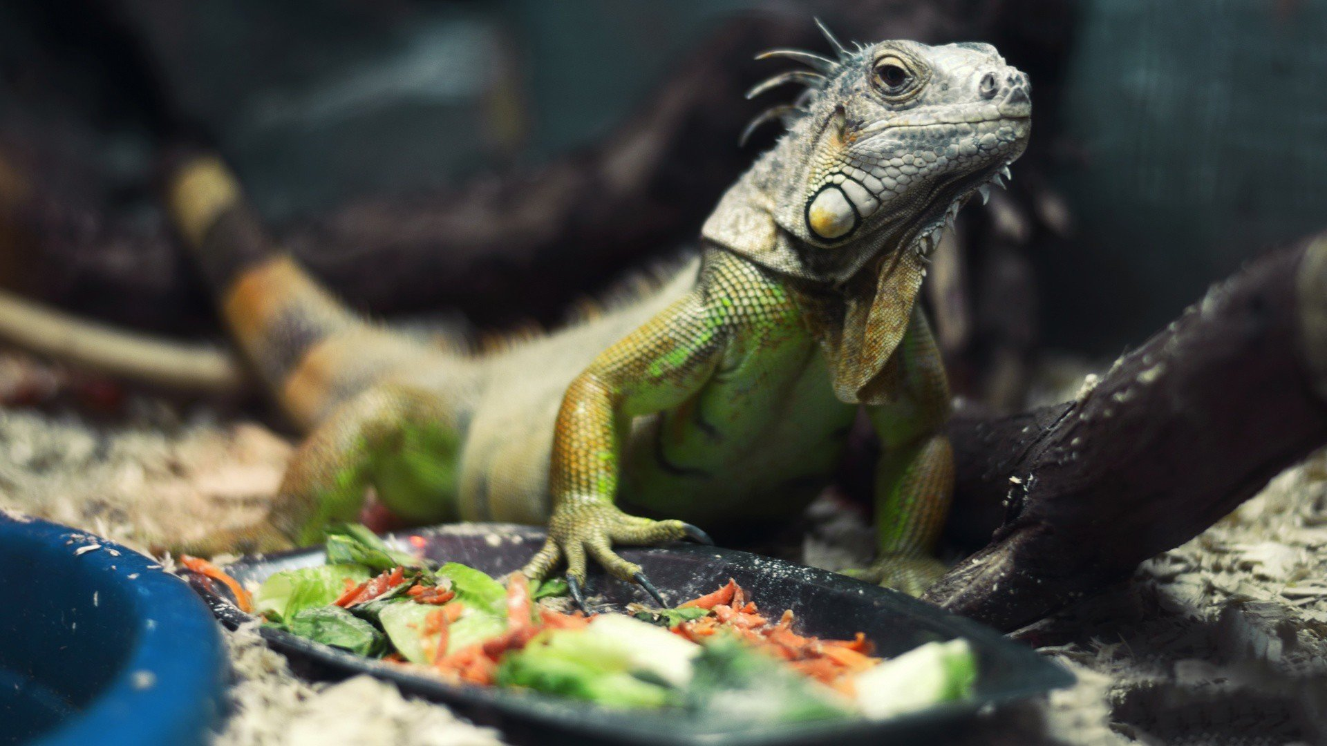 Free download Iguana background ID:380907 full hd 1920x1080 for desktop
