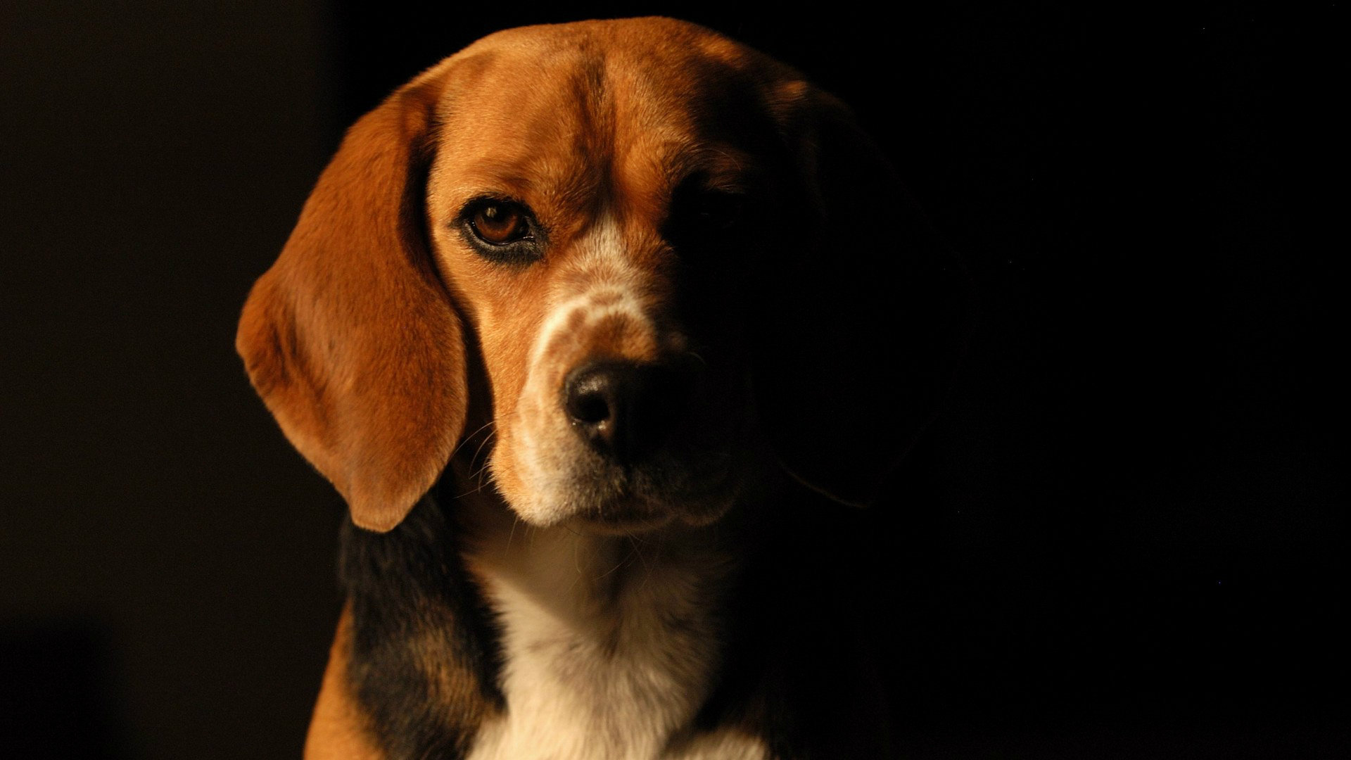 Download full hd 1920x1080 Beagle PC background ID:294233 for free
