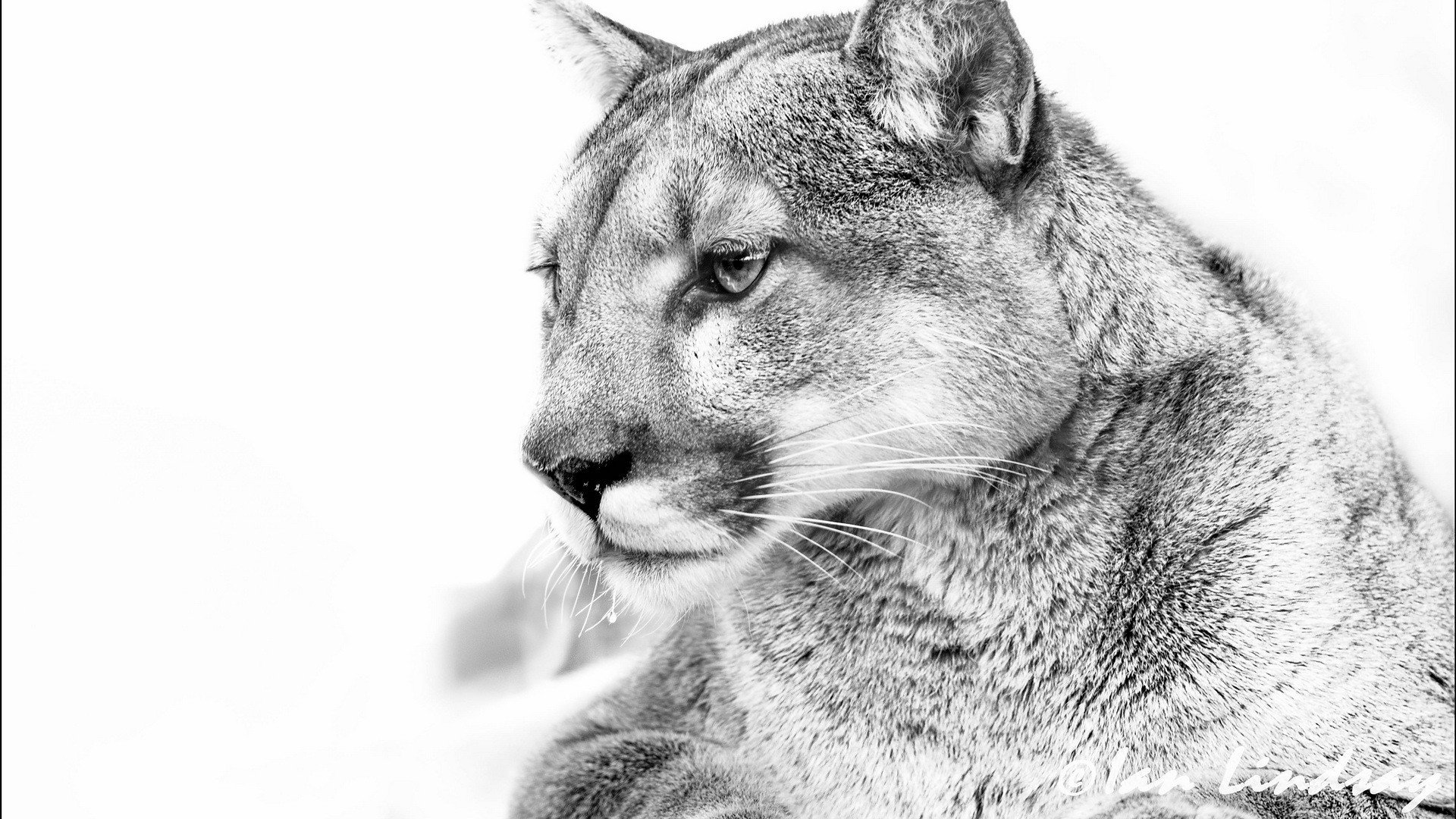 Free Cougar high quality background ID:81669 for full hd 1080p PC