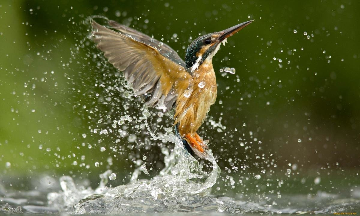 Free download Kingfisher wallpaper ID:311295 hd 1200x720 for PC