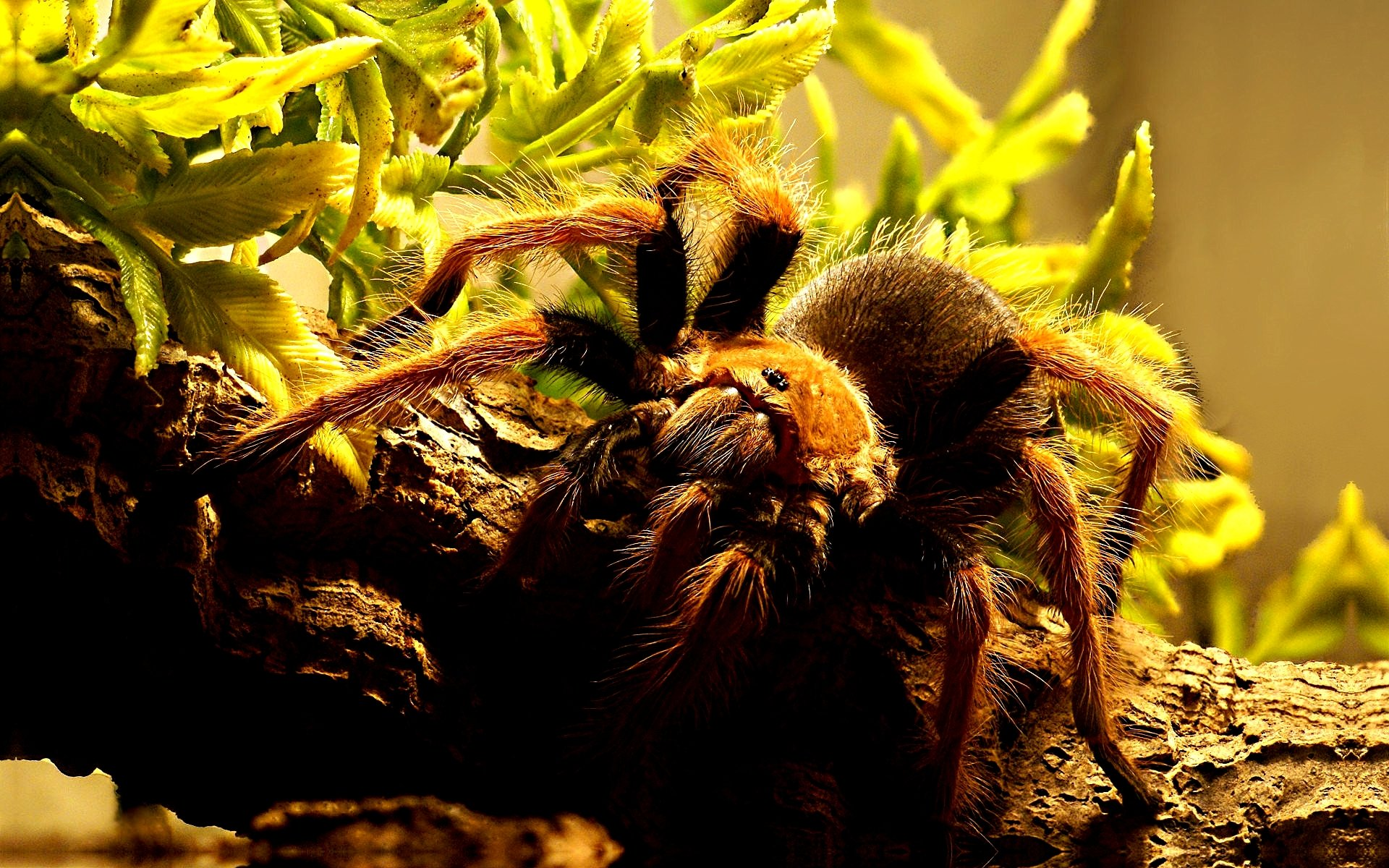 Download hd 1920x1200 Tarantula desktop wallpaper ID:409560 for free