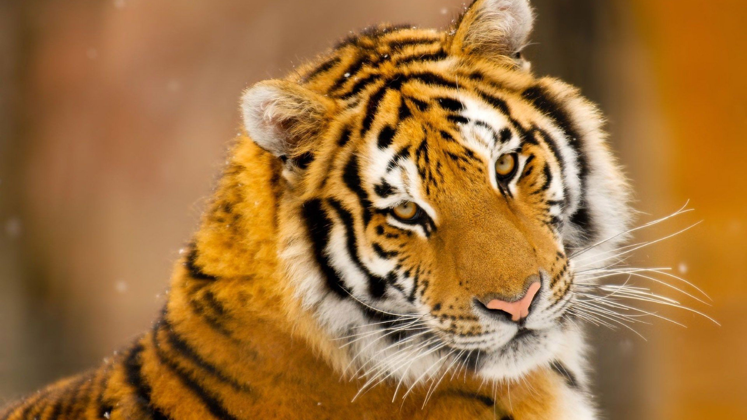 Download hd 2560x1440 Tiger desktop background ID:115888 for free