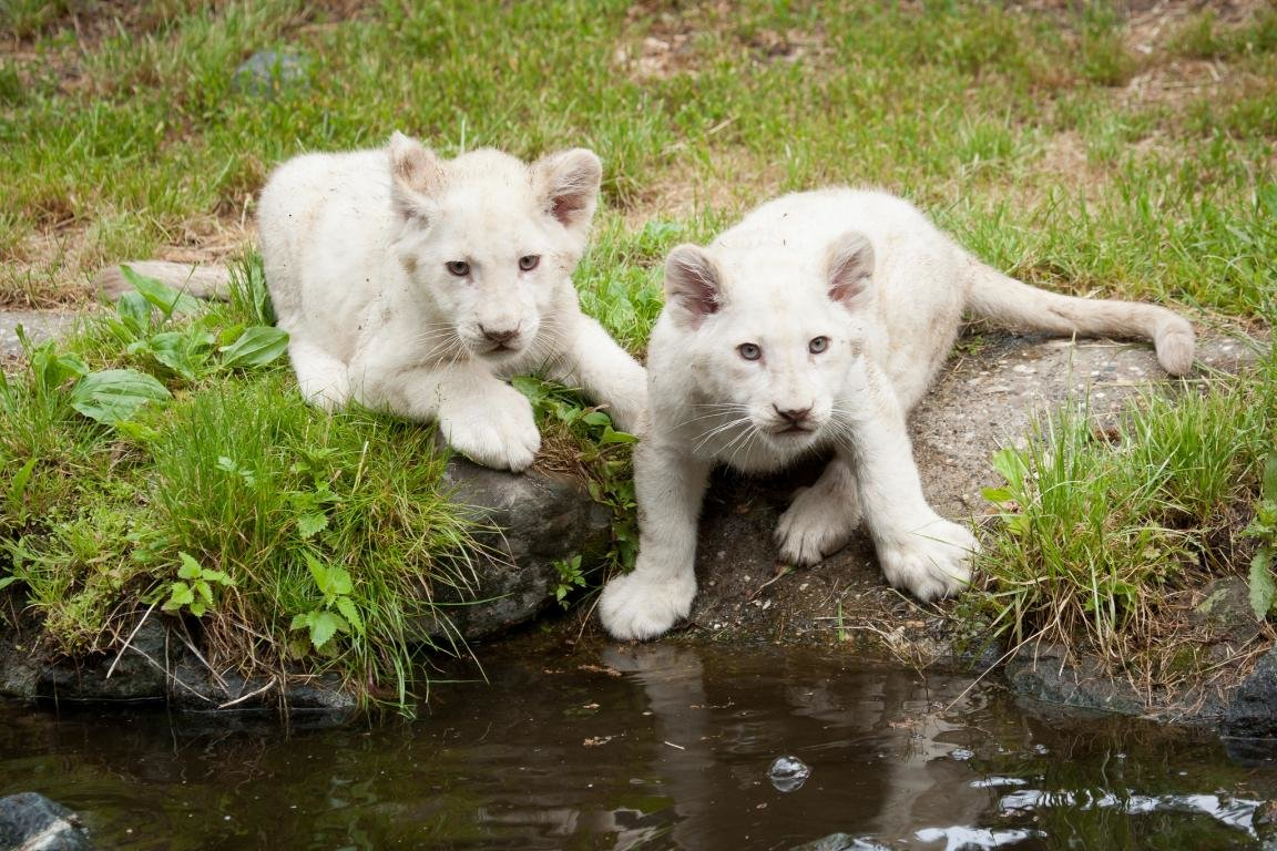 Free download White Lion wallpaper ID:237715 hd 1152x768 for desktop