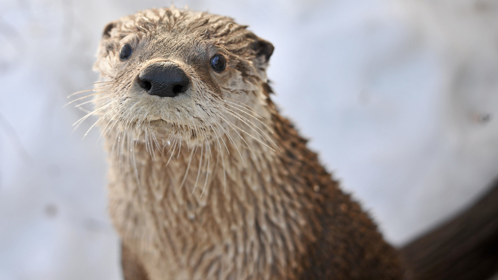 High Resolution Otter 1080p Wallpaper Id 207623 For Pc