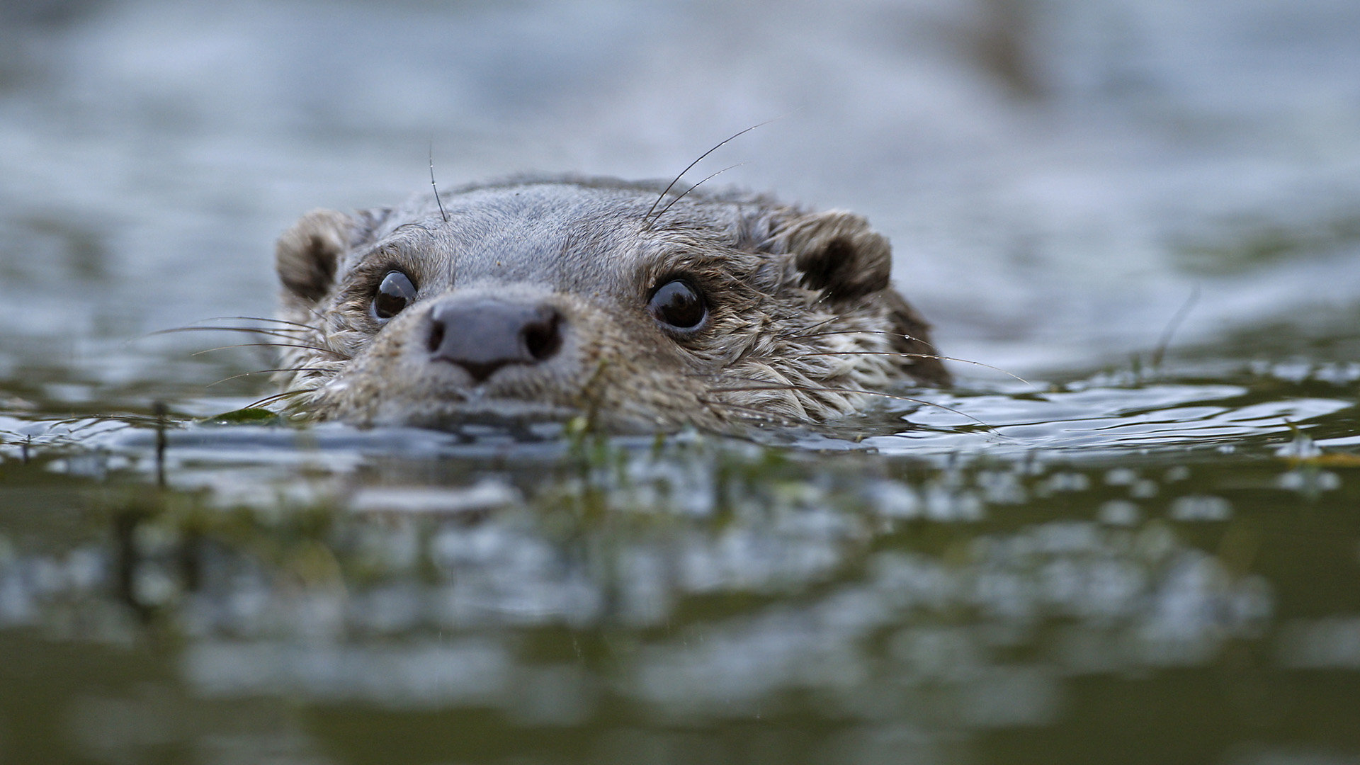 Awesome Otter free wallpaper ID:207597 for full hd 1920x1080 computer