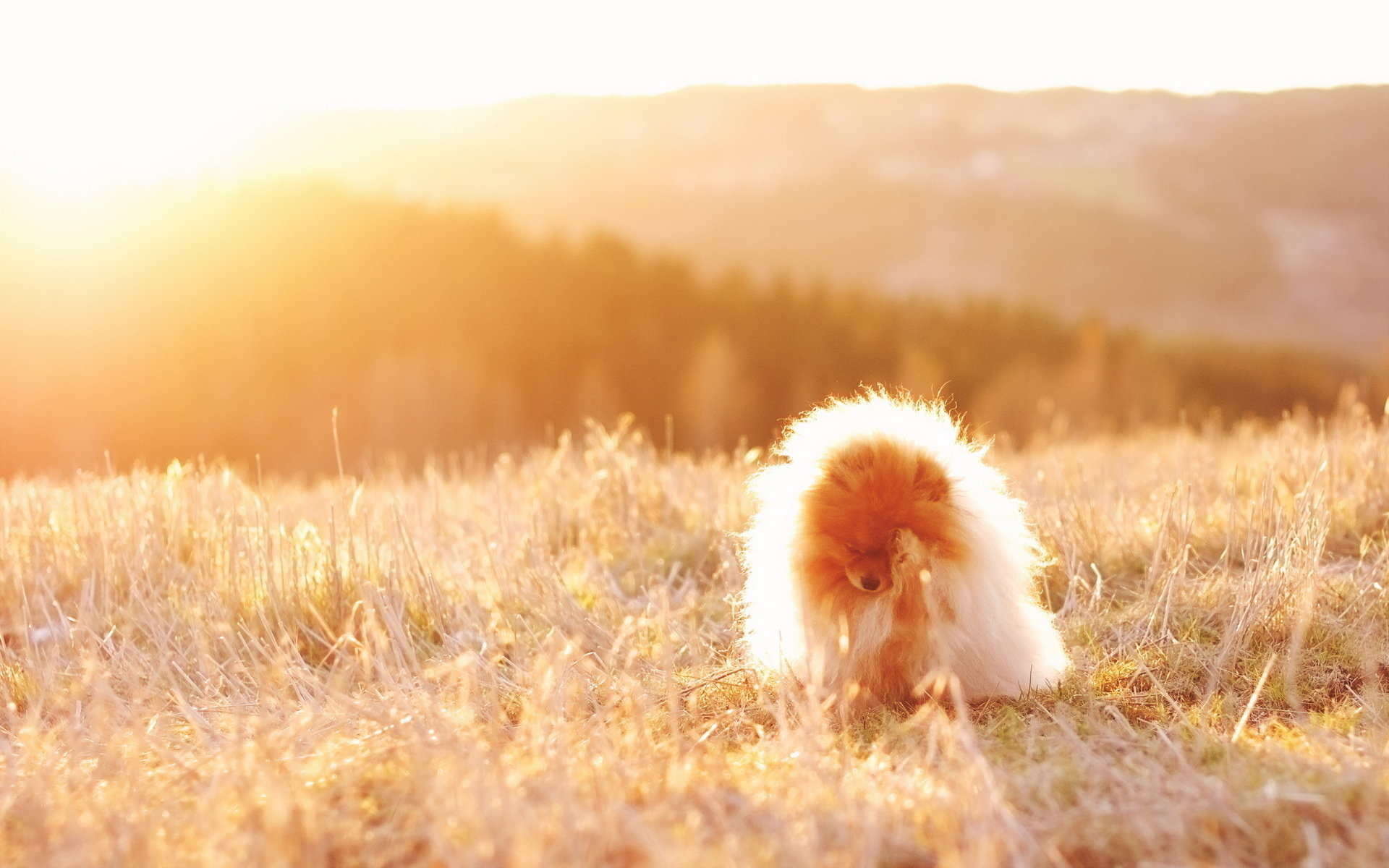 Free Pomeranian high quality wallpaper ID:184952 for hd 1920x1200 PC