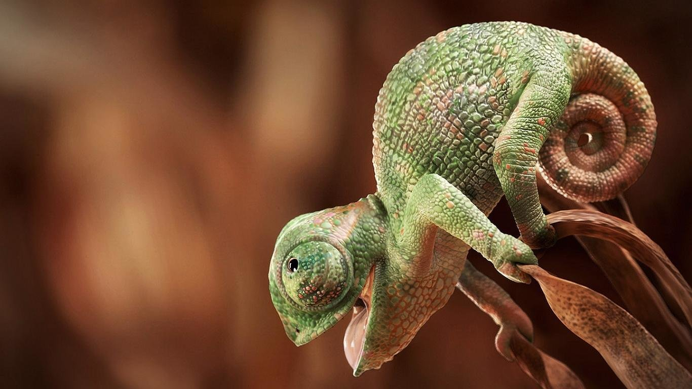 High resolution Chameleon hd 1366x768 background ID:462566 for PC