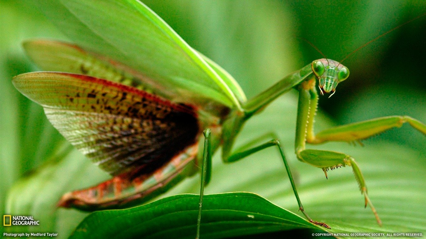 Best Praying Mantis wallpaper ID:156490 for High Resolution 1366x768 laptop PC
