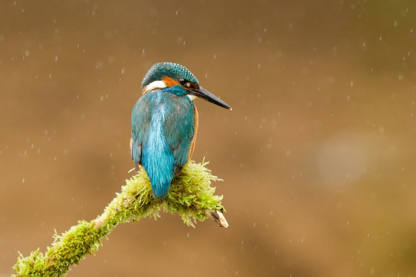 Download hd 1440x960 Kingfisher desktop background ID:311313 for free