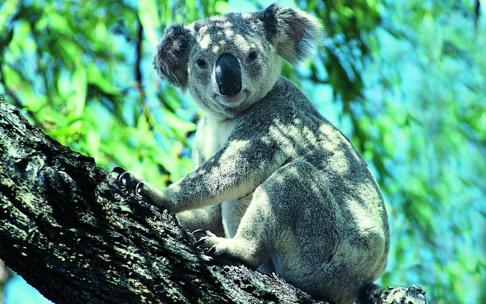 High resolution Koala hd 1920x1200 wallpaper ID:74220 for PC
