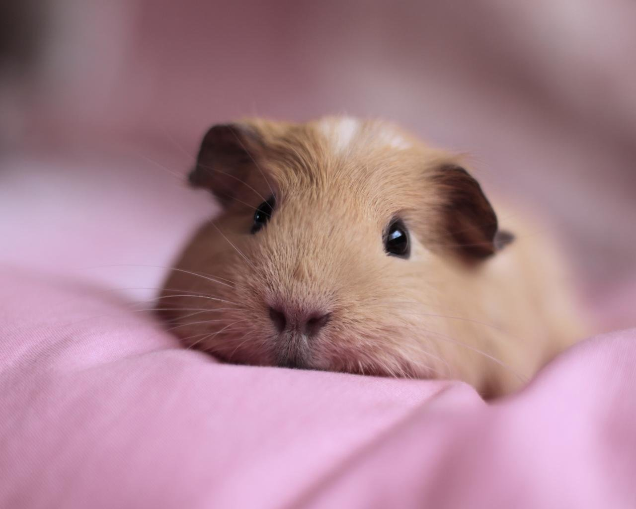 High resolution Guinea Pig hd 1280x1024 wallpaper ID:270944 for computer