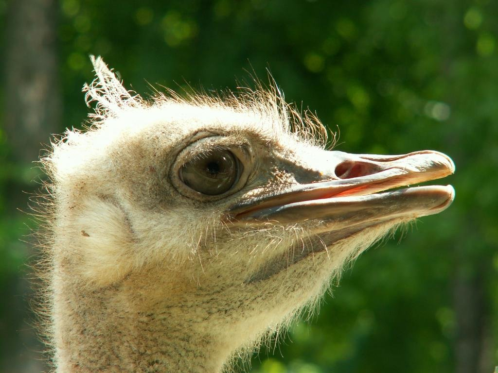 Free download Ostrich background ID:290160 hd 1024x768 for PC