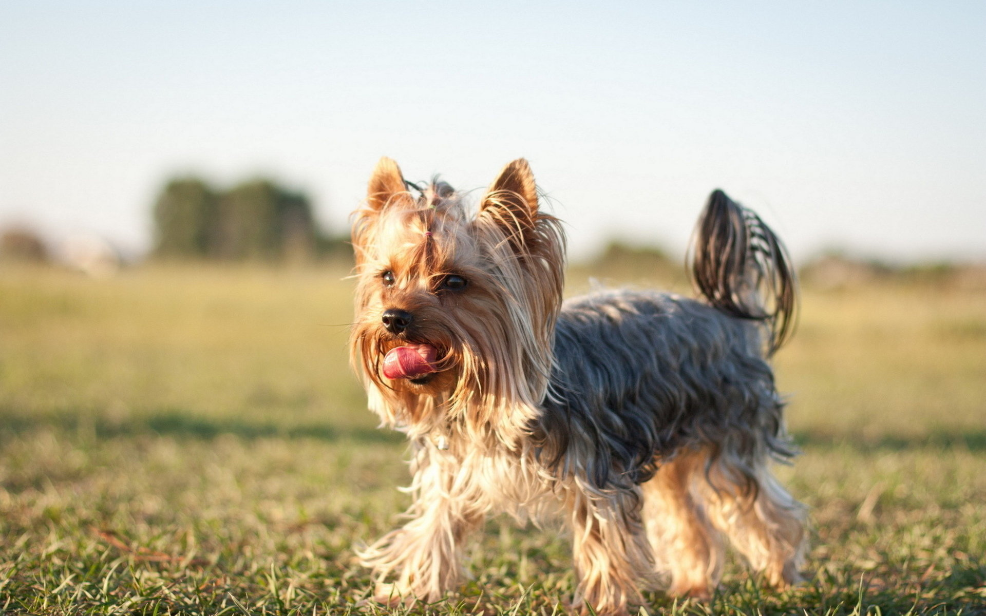 Awesome Yorkshire Terrier free wallpaper ID:110983 for hd 1920x1200 PC