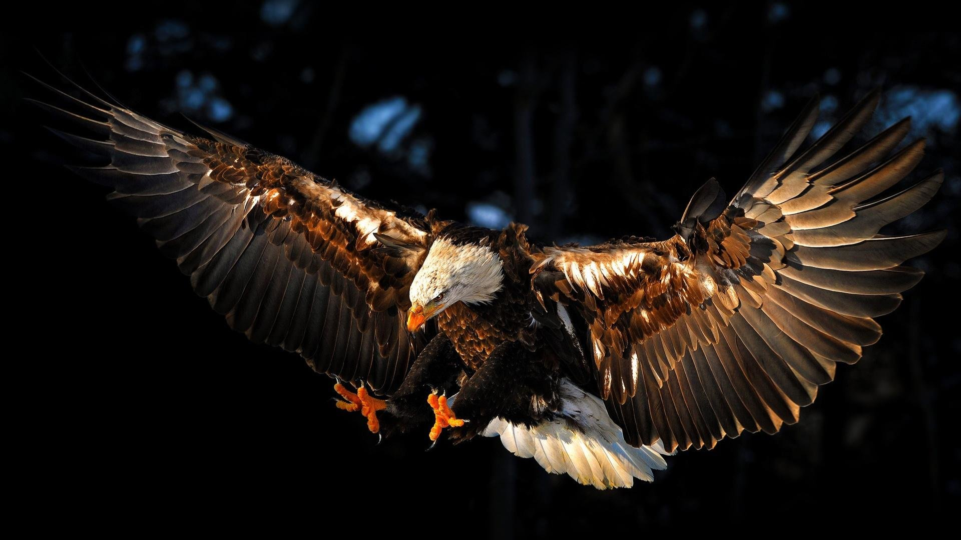 Awesome American Bald Eagle free wallpaper ID:68610 for full hd PC