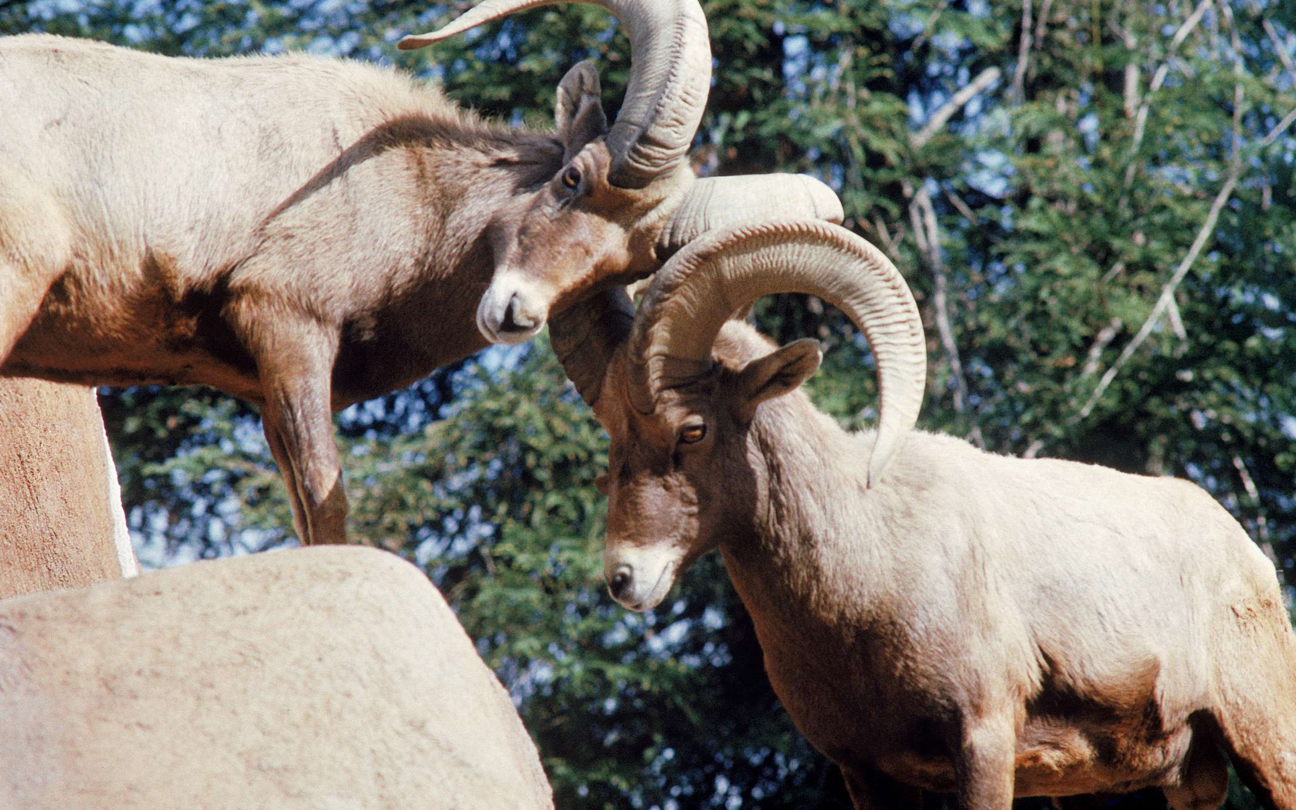 Awesome Bighorn Sheep free background ID:445229 for hd 2560x1600 desktop