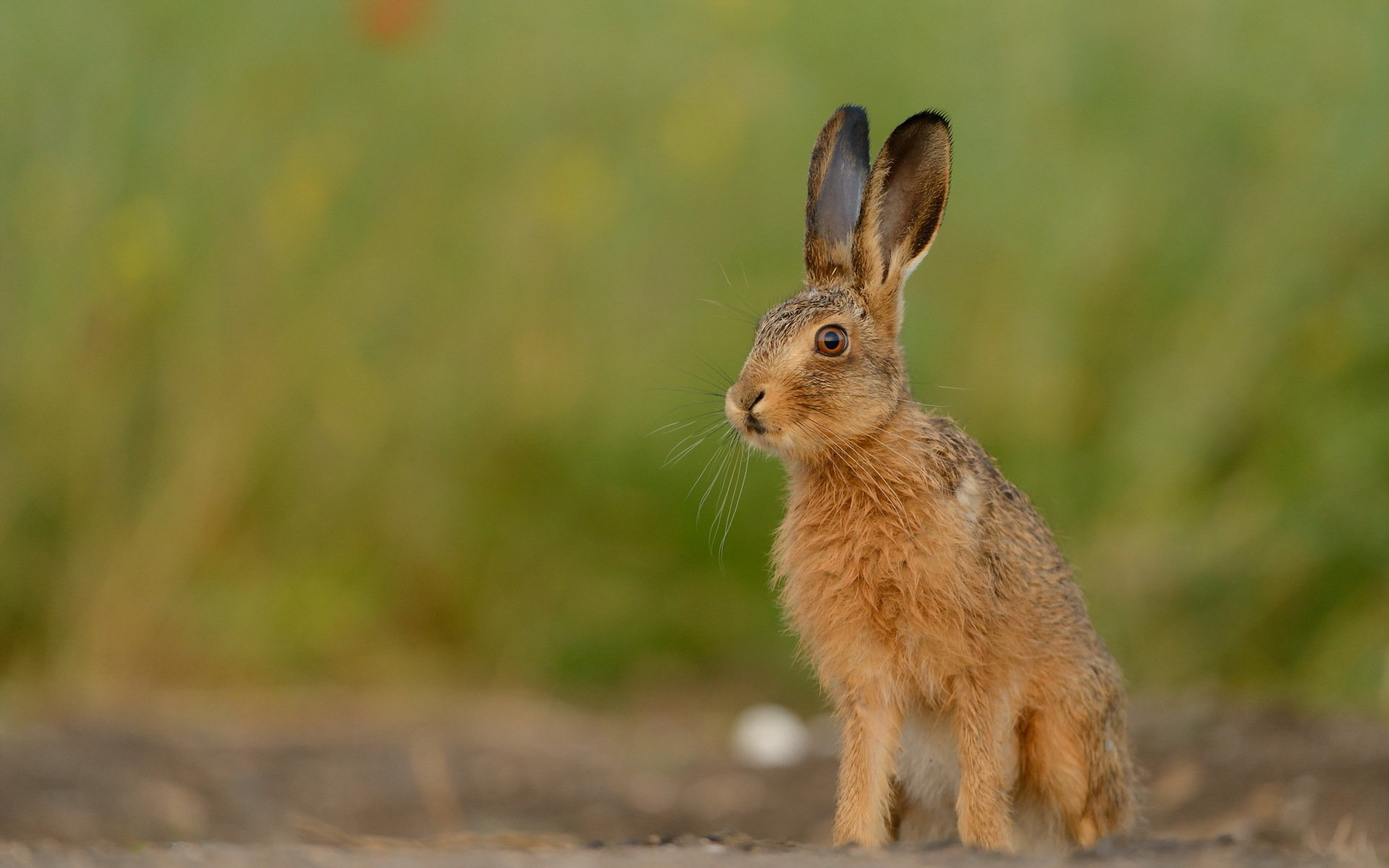 Awesome Hare free wallpaper ID:81072 for hd 1920x1200 PC