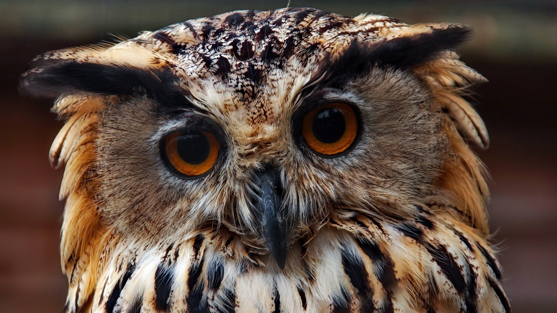 Best Owl background ID:236997 for High Resolution full hd 1920x1080 desktop